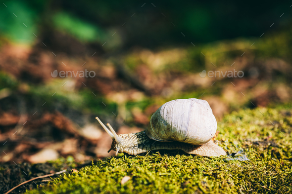 Snail with white shell creeping on the forest moss. - Stock Photo - Images