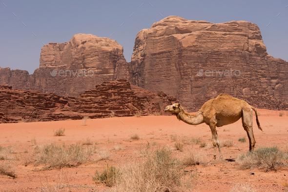 Camel resting in Wadi Rum desert, Jordan - Stock Photo - Images