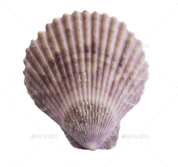 Scallop seashell isolated on white  - Stock Photo - Images