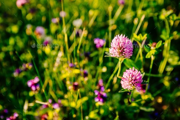Pink clover flowers in summer sunset light. - Stock Photo - Images