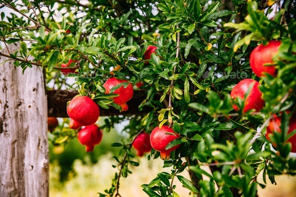 Red ripe pomegranates on the tree in the garden in Greece - Stock Photo - Images