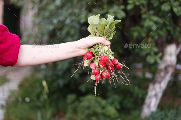 Fresh radish in the woman's hands - Stock Photo - Images