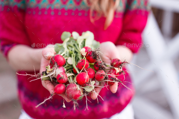 Woman picking fresh radish from her garden - Stock Photo - Images