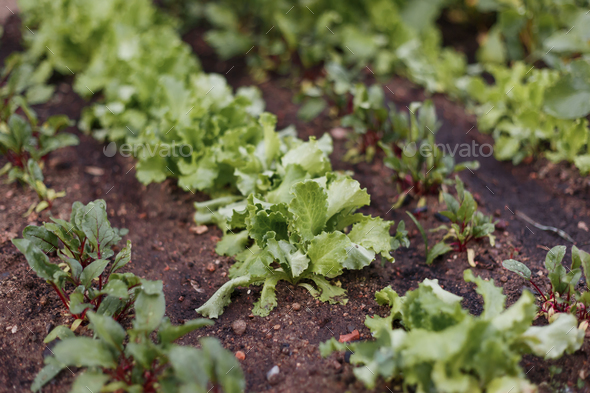 Lettuce salad field farmland produce - Stock Photo - Images