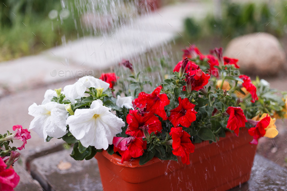 man gardener watering petunia and chrysanthemum flowers in garden - Stock Photo - Images
