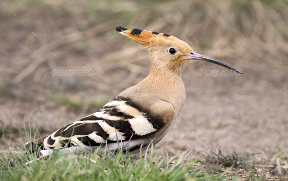 Funny brown Hoopoe  - Stock Photo - Images