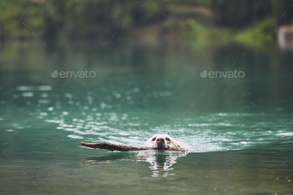 Dog in mountain lake - Stock Photo - Images