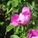 Video of a Bumblebee Pollinating a Rose Hip Flower - VideoHive Item for Sale