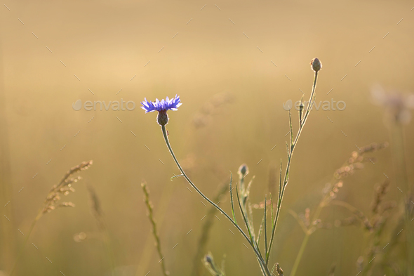 Cornflower - Stock Photo - Images