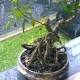 Japanese Bonsai Tree Outdoors in the Rain in Bali, Indonesia - VideoHive Item for Sale