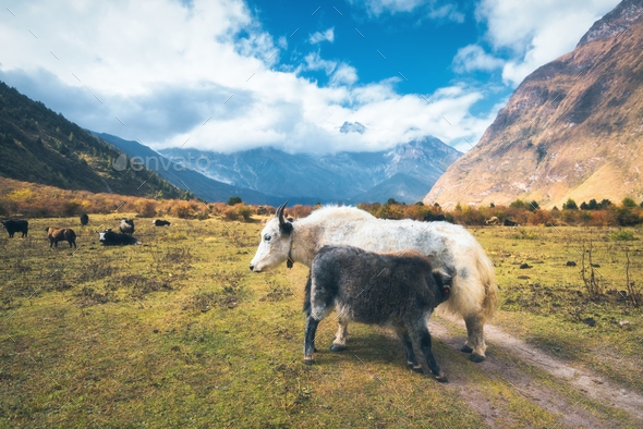 Beautiful white wild yak and amazing baby yak on pasture - Stock Photo - Images