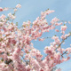 Cherry Blossoms - VideoHive Item for Sale