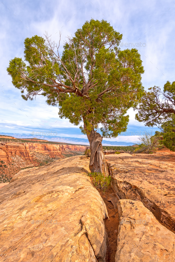 Pinyon Tree Growing out of the Rock - Stock Photo - Images