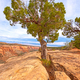 Pinyon Tree Growing out of the Rock - PhotoDune Item for Sale