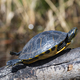 Yellow Slider Basking in the Sun - PhotoDune Item for Sale