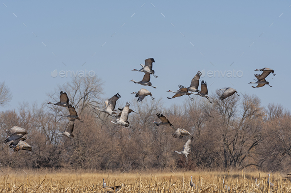 Migrating Cranes taking off from a field - Stock Photo - Images