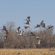 Migrating Cranes taking off from a field - PhotoDune Item for Sale