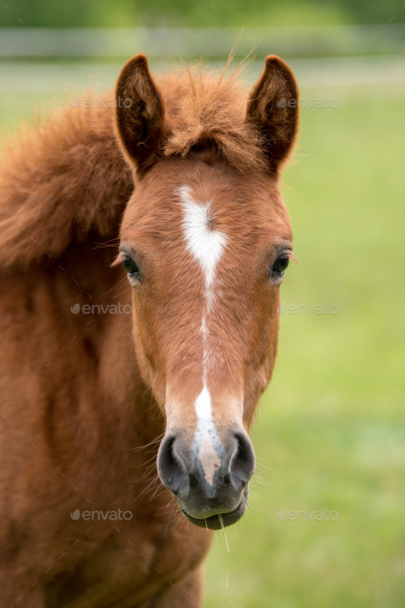 Portrait brown colt in summer - Stock Photo - Images