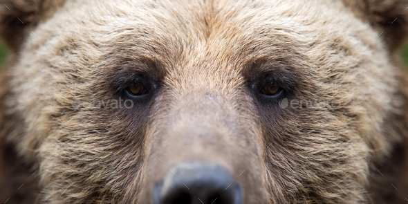 Closeup of the eye of a bear - Stock Photo - Images