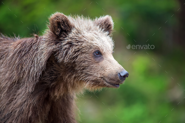 Brown bear cub in a spring forest - Stock Photo - Images