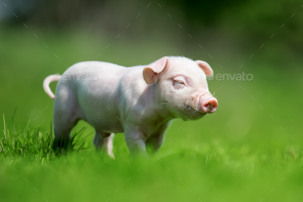 Newborn piglet on spring green grass - Stock Photo - Images