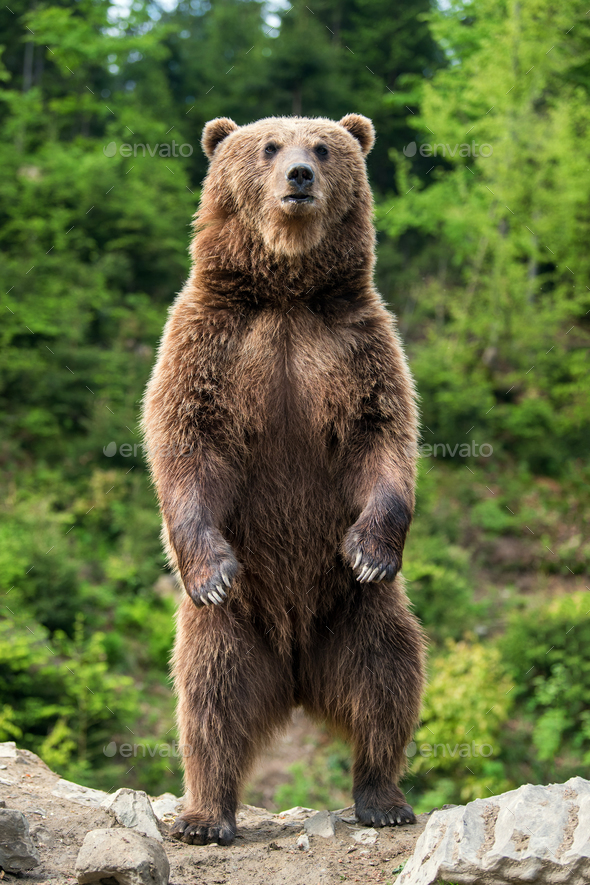 Big brown bear standing on his hind legs - Stock Photo - Images