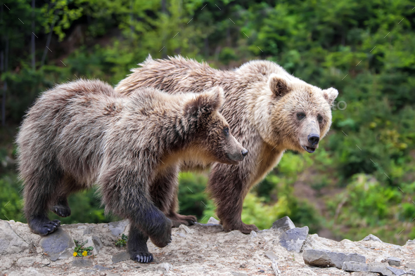 Brown mother bear protecting her cub in a forest - Stock Photo - Images