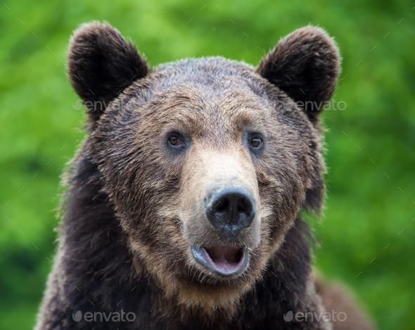 Brown bear (Ursus arctos) portrait in forest - Stock Photo - Images