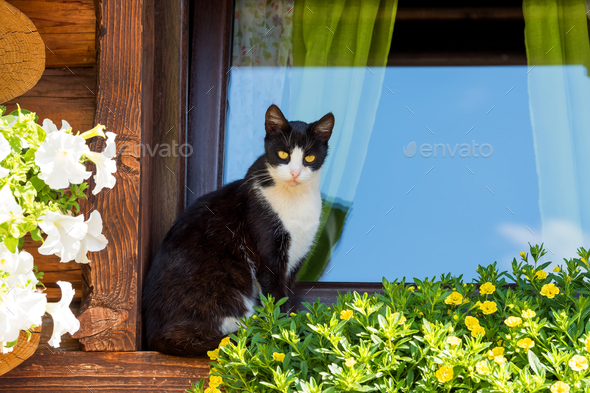 Cat on an old window of wooden house with flowers - Stock Photo - Images