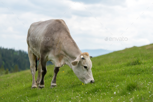 Cow grazing on meadow in mountain - Stock Photo - Images