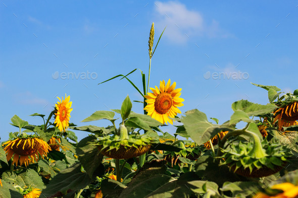 Sunflower with blue sky - Stock Photo - Images