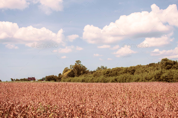corn farm in the countryside - Stock Photo - Images