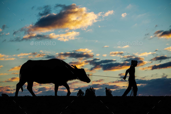 Farmers and buffaloes at sunset - Stock Photo - Images