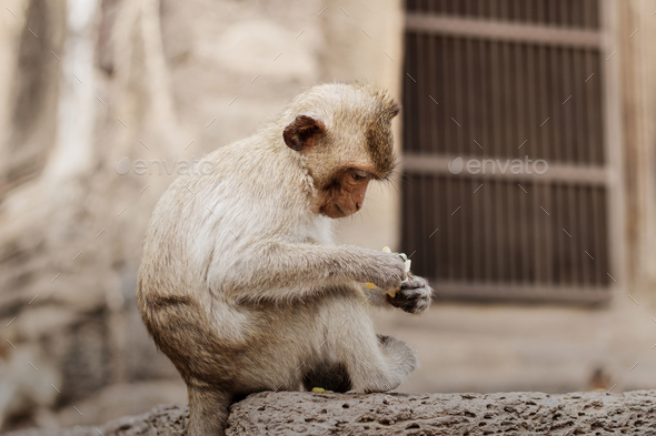 monkey on the old building - Stock Photo - Images