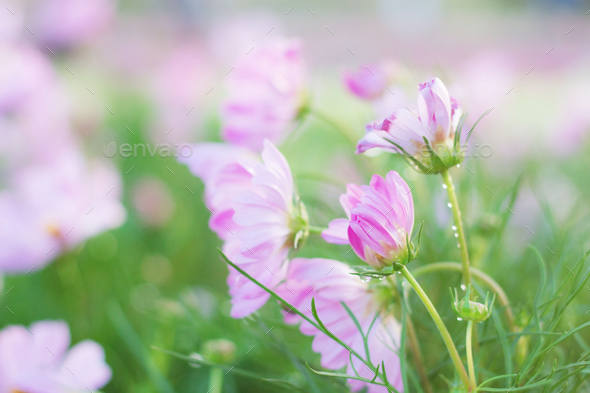 Pink cosmos with beautiful - Stock Photo - Images
