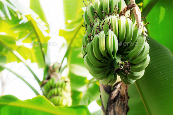 Raw bananas on trees - Stock Photo - Images