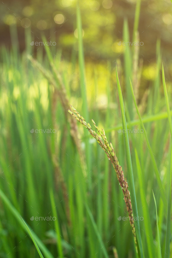 Rice on field - Stock Photo - Images