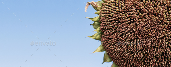 Sunflower seeds with sky - Stock Photo - Images