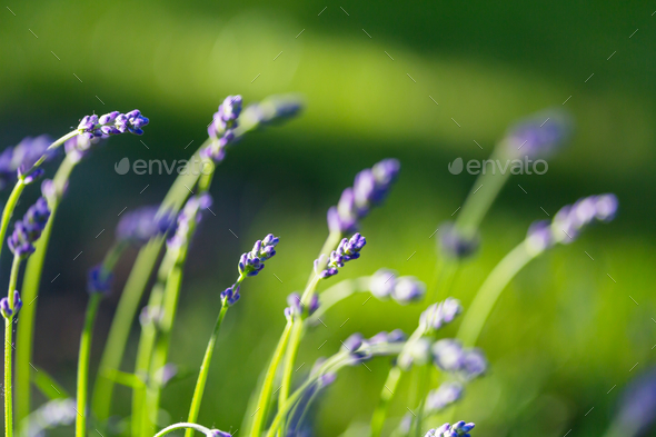 Lavender - Stock Photo - Images