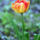 Spring red tulip - PhotoDune Item for Sale