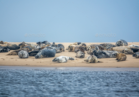 Colony Of Harbor Seals - Stock Photo - Images