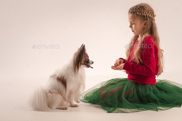 Studio portrait of a small yawning puppy Papillon - Stock Photo - Images