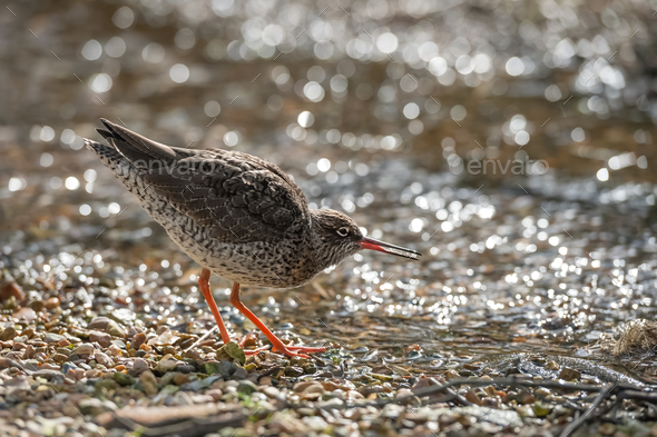 common redshank - Stock Photo - Images