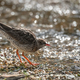 common redshank - PhotoDune Item for Sale