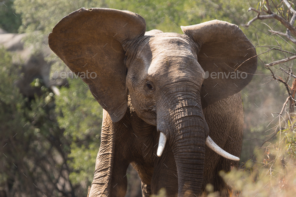 Young African Elephant  - Stock Photo - Images