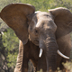 Young African Elephant  - PhotoDune Item for Sale