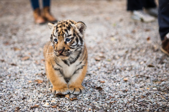 Walk with a baby tiger - Stock Photo - Images