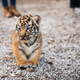 Walk with a baby tiger - PhotoDune Item for Sale