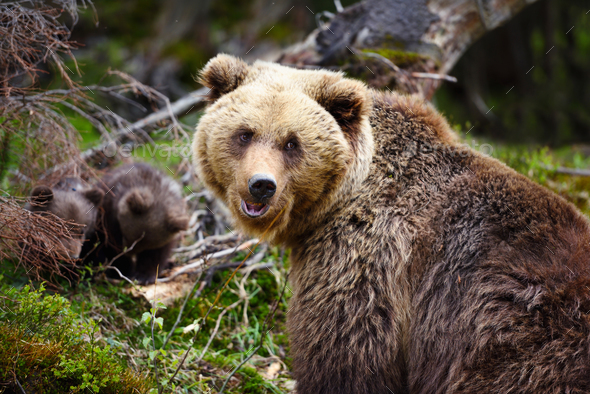 Brown mother bear protecting her cubs in summer forest - Stock Photo - Images