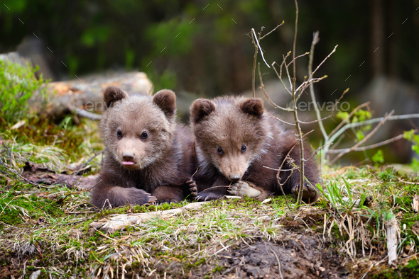 Two little brown bear cub in summer forest - Stock Photo - Images